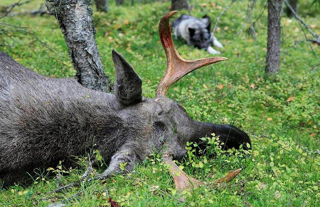 Flere tusen elgjegere i gang på Statskogs eiendommer - Svært mange følger spent med fra sofakroken