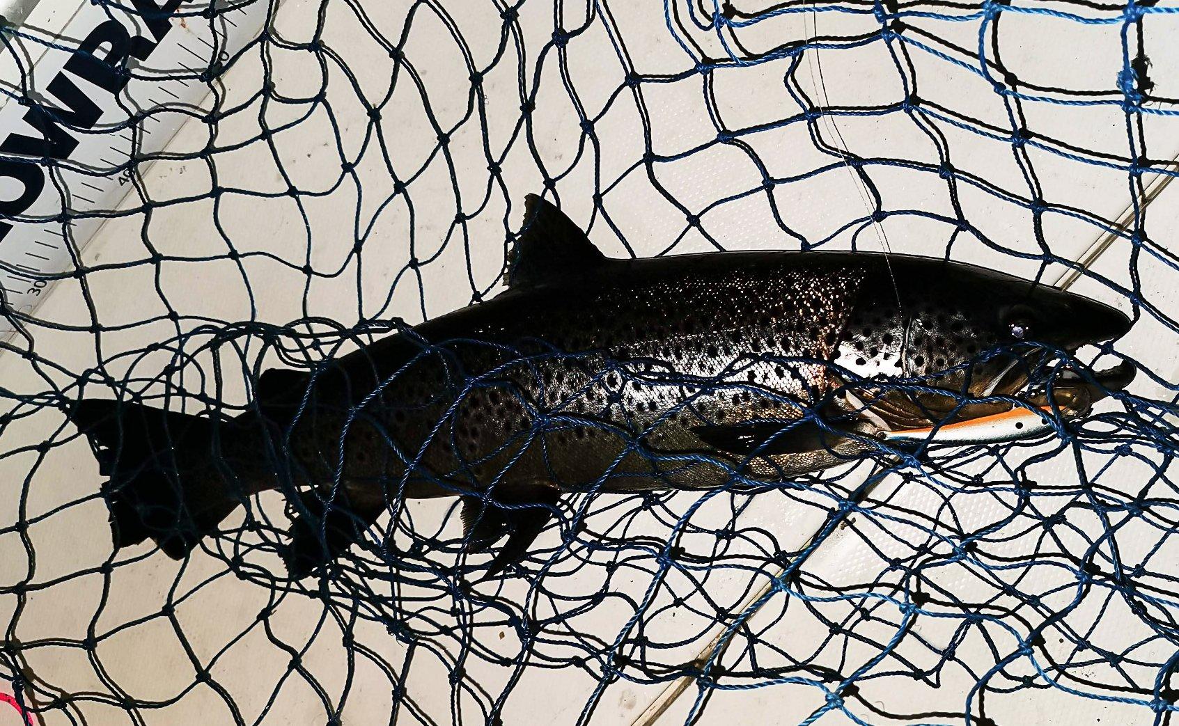 TIL MÅLING: Slik ser et stadig mer vanlig fangstbilde av mjøsørret; håvet og klar til måling.