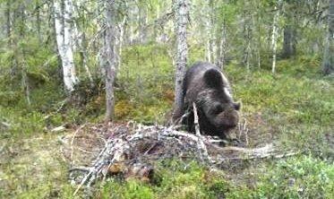 Bjørnen forsynte seg igjen: