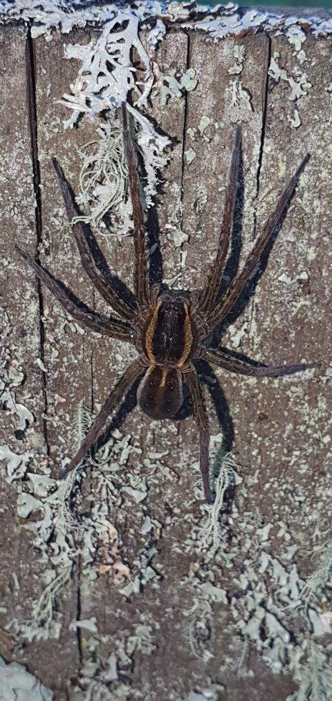 HVA SLAGS ART?: Den svære edderkoppen som Veronica Judin fant tirsdag var kun et skritt unna døden før den ble reddet.
