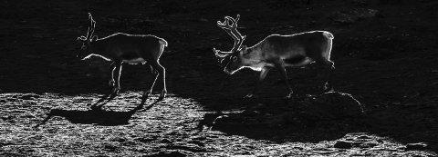 I sitt rike: Stemningsfullt møte på Hardangervidda. Alle dyreFoto: Kenneth Bergland