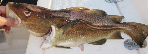 «Korthale»: Arne Johnny Jensen syntest denne torsken såg rar ut då han fiska den utanfor Bogsnes. Det er ein såkalla «korthale». Foto: Arne johnny jensen