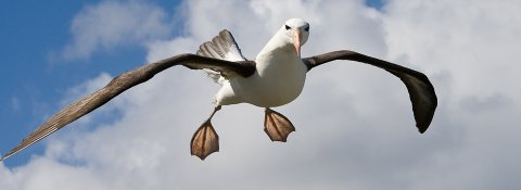 PENSJONIST: Albatrossen Wisdom er vistnok 67 år gammel. Godt over forventet levetid på denne fuglen med de lengste vingene i verden.