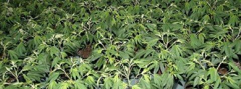 HYTTECANNABIS: En hytteier i Våler rigget til en cannabisplantasje og dyrket i vei, men ble avslørt av en turgåer med god luktesans. Nå er hun dømt i Moss tingrett.