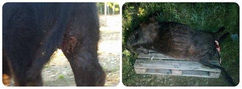 AVLIVET: Denne oksekalven ble avlivet som følge av et ulveangrep tirsdag kveld.