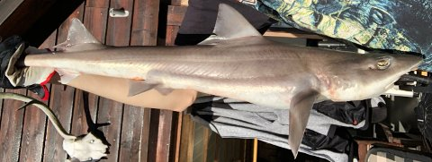 SENSASJONELL FANGST: Håvard Berakvam fikk registrert vekt og lengde og tatt to bilder før den sjeldne glatthaien fikk svømme videre i fjorden ved Ilsvåg.