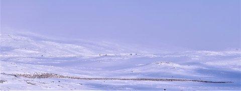 Denne villreinflokken på Hardangervidda var svært nær riksveg 7 denne uka.