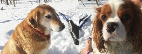 Hundene Emma (11) og Felix (9 mnd) har vært savnet siden onsdag. Wenche Andersen ber folk ta kontakt med henne, politiet eller Elin Reinfjell om de har hørt eller sett noe. Begge foto: Privat