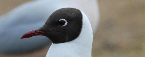 Hettemåken er en av de vanligste måkene. Arten er utbredt i den palearktiske sone, men i Norge er den i tilbakegang og blir nå oppført som nær truet i Norsk rødliste for arter.