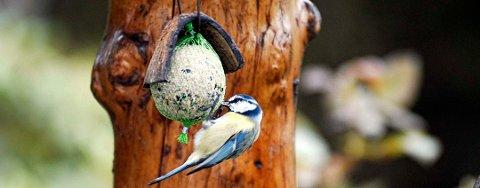 Meiseboller er populært, blant annet hos blåmeisen. Bollene kan du også lage selv, og husk å være nøye med å fjerne nettingen når alt er spist opp.