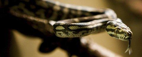 Fra 15. august i år blir det tillatt for vanlige folk å ha reptiler som hysdyr i Norge. Nyheten offentliggjøres av Landbruksdepartementet enere i dag. Reptiler har vært forbudt i landet siden 1977. Bildet viser en teppepyton.