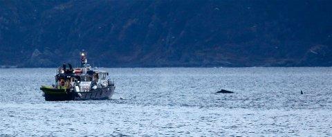 ORDNET OPP SELV: Fiskeridirektoratets patruljebåt «Eir» på vei ut for å forsøke å berge kvalen som hadde viklet seg inn i tauverk. Da redningsmannskapene fant kvalen, kunne de konstatere at den hadde kommet seg løs uten hjelp fra mennesker. Foto: Ola Solvang