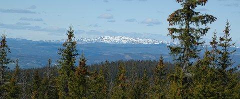 SJUSJØEN, HEDMARK, 20070527: Det var varierende vær denne pinsen. Her fra Sjusjøen i Hedmark 1. pinsedag. Grantre med kongler i forgrunnen. I bakgrunnen snedekte fjell i Jotunheimen. Foto: Jens O. Kvale / SCANPIX