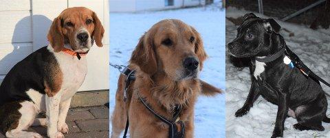 TOPPER LISTEN: Beagelen Luna (4) fra Røyken, golden retrieveren Molly (3) fra Slemmestad og staffen Leo (1) fra Vettre er blant de øverste på listen over de mest brukte hundenavnene i landet i året som gikk.