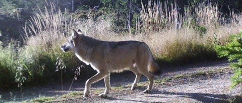 UENIGE: Ulve-tillhengerne og -motstanderne er sterkt uenige i debatten om den generisk viktige ulven.