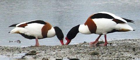 Karakterfugl: Gravanda er en karakterfugl for larvikskysten og en av dem som ankommer aller tidligst. Samtidig er den en gåtefull fugl og i år er den Årets fugl hos Norsk Ornitologisk Forening. På bildet ser vi en hann til høyre og en hunn til venstre.