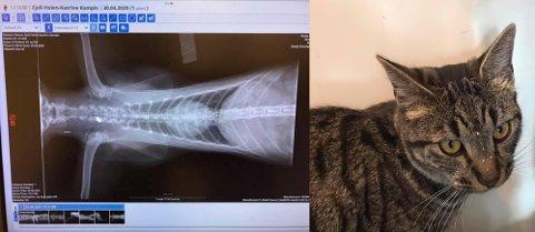 MÅTTE BØTE MED LIVET: Først trodde man katten Kompis var blitt påkjørt. Røntgenbildene viste imidlertid noe helt annet.
