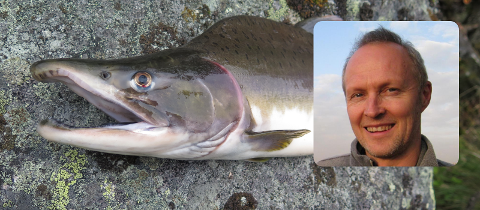 Pukkellaksen skaper store problemer i elvene nord i landet, men seniorrådgiver Terje M. Wivestad for statsforvalteren (innfelt) vil ikke iverksette tiltak mot fisken i Akerselva