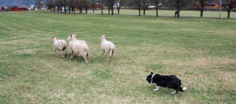 Gjetarhund: Konkurranse på Lægreid.Arkiv: Audun Seilen