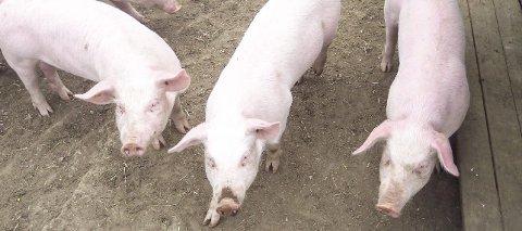 FORSETTLIG: Retten legger til grunn at gårdbrukeren hadde hatt mulighet til å forbedre forholdene for sine griser, uten å gjøre det. Illustrasjonsfoto: Thor-Rune Hansen
