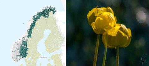Ballbloms utbredelse i Norge (Artsdatabanken).  Foto av ballblom: Bjarke Anderson