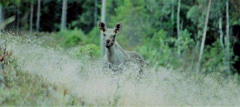 TØRKESOMMEREN kan også komme til å påvirke elgbestanden, ifølge svenske forskere. Blant annet i form av mindre kalver. og færre fødte kalver neste år. Foto: Øivind Eriksen