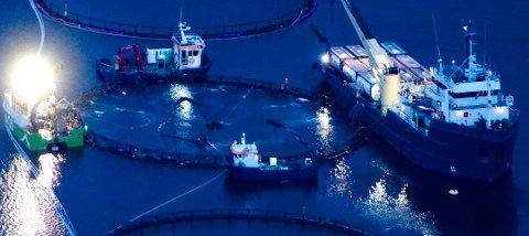 AVLUSER LAKSEN: Bilde viser avlusning med Marine Harvest i Kvænangen. Her brukes hydrogenperoksid som raskt omdannes til vann og oksygen.