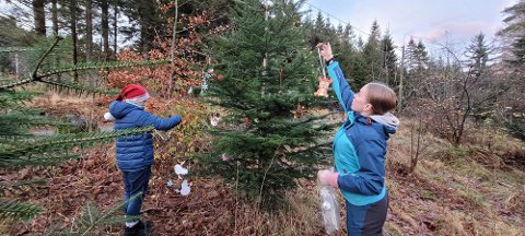 JULETREPYNTING I NATUREN: Daniel Bjelland Amundsen og  Mira Miljeteig Amundsen pyntet treet i Djupadalen med selvlaget pynt.