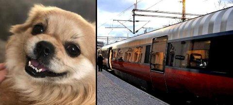 RØMLING: Bobby (7) er muligens verdens første tog-for-buss-hund. Det endte med at han rømte med NSB til  Oslo, og havnet i en leilighet på Majorstua.