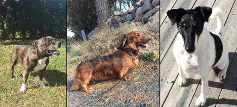 Fra venstre: Charlie, en Staffordshire bullterier (5 år), Bajas, en dachs (5 år) og Stella, en fox terrier (8 år)