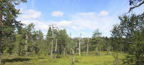 STORT VERNEOMRÅDE: Gammel furuskog i Skogtjernfjellet og Snellingrøysene naturreservat som nå dekker over 10 kvadratkilometer. Foto: Rein Midteng, Asplan Viak