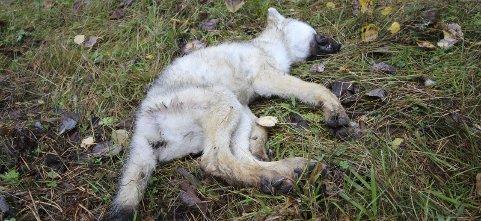 DØD: Funnet av ulvevalpen i Østmarka ble innmeldt 17. september. Foto: Roy Taranger/politiet