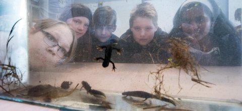 STOR INTERESSE: Elevene i 6.-klasse på Kjeller skole har arbeidet med salamanderprosjektet siden i fjor høst. Noe av arbeidet går ut på å fange og avbilde hever enkelt salamander i dammen på Kjeller gård rett ved skolen. ALLE FOTO: VIDAR SANDNES