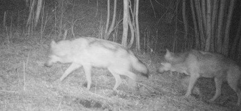 DREKTIG: På et nattbilde fra i våres er det ekstra tydelig at tispa var drektig. Foto: Foto: Viltkamera, privat.