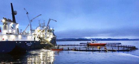 UTSETT: På Skrubbholmen sør for Rørvik ble 100.000 fisk satt i den nedsenkbare merden. Utsettet i Atlantis i februar måned ble det andre i rekken.