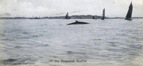 MARITIMT: Ved Haugesund, Hvalfisk. Eneberettiget Thea Larsen 1906.