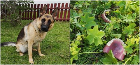 FANT GEBISS: Hunden Zara (2) fant et sett med gebiss da hun var ute på sin søndagstur. Heldigvis har de nå funnet veien til sin rette eier.