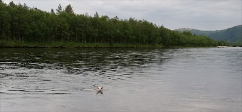 Her svømmer lammet i elvestrømmen. Det unngikk drukningsdøden med knapp margin. Foto: Raymond Nilsen