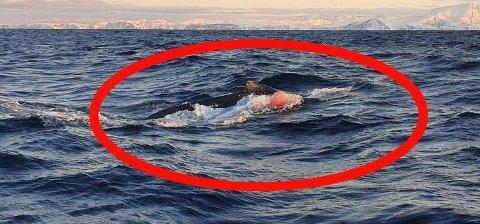 BLÅSE OG TAU: Knølhvalkalven dro både på blåse og tau fra et garn, helt til kystvakta og Fiskeridirektoratet fikk frigjort den.