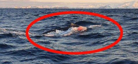 BLÅSE OG TAU: Knølhvalkalven dro både på blåse og tau fra et garn, helt til kystvakta og Fiskeridirektoratet fikk frigjort den. Foto: KV Heimdal