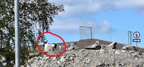 FANGET: Elgen havnet i vannet på andre siden av muren av hvor den står på dette bilde.