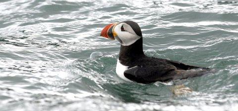 TREG havpapegøye: Ikke på 25 år har lundefuglens ankomst til Lundeura på Lovund vært så treg som i år. Foto: Geir Vea