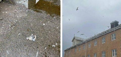 KRYKKJER: I sentrum av Hammerfest finner du en haug av Krykkjer. Flere av dem ligger død på bakken.