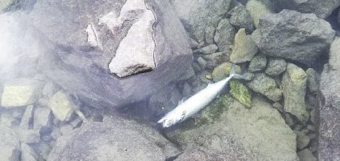 Brakkneset: Opp mot hundre døde makreller fant Bolle Hegg ved Brakkneset.Foto: Bolle Hegg