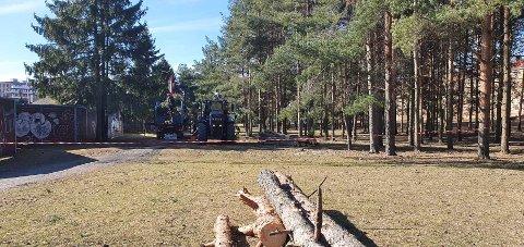 Flere gamle trær ble felt i hundremeterskogen rett ved Valle Hovin torsdag. Det måtte gjøres for å kunne etablere salamanderhotell, ledegjerde og ny gangsti.