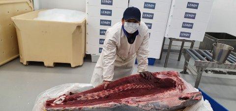 Tunfisken ble fanget utenfor Molde, og fraktet til Bergen i ekspressfart.