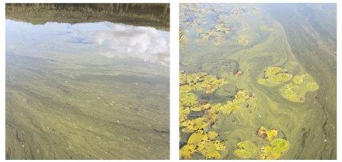 2017: Slik så det ut i Falangtjerna sommeren 2017. Dette forklares med å være slutten på en algeoppblomstring der algene dør og flyter opp i vannflaten, før de synker til bunns. Nå har gårdbrukere som disponerer jord i nedslagsfeltet til tjerna blitt plukket ut til kontroll.