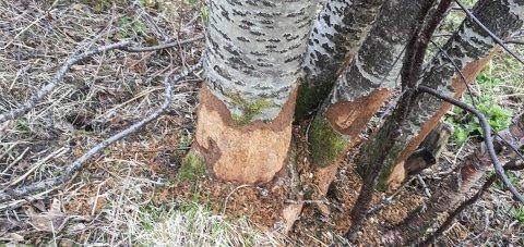 Rensket for bark: Haren gnager barken av trærne. – Den gjør dette for å slite ned tennene, sier viltansvarlig Rolf Erling Loe.