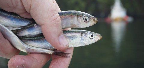 Brisling: Villfisklaget meiner fangst av 500 tonn brisling er negativt for heile fjordmiljøet. Foto: Roar Bjånesøy/Norges Sildesalgslag