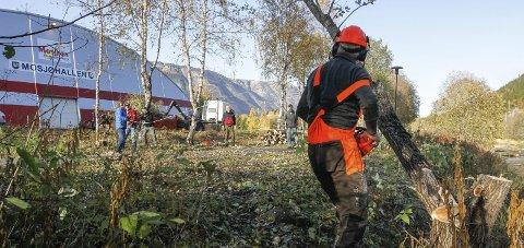 FELTE TRE: Ola Vinje med motorsaga, og resten av gjengen styrer treet på trygg grunn fra elvebredden med tau.   Foto: Per Vikan